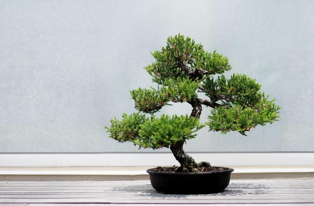 Bonsai Tree on a wooden shelf.